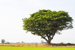 蔓延绿色米的雨豆树 库存照片