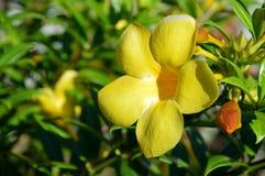 黄蔓 免版税图库摄影