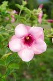 黄蔓cathartica花在庭院里 图库摄影