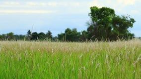 蔗糖spontaneum是草当地人到印度次大陆 这是一棵四季不断的草,生长三米高, 库存照片