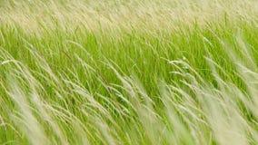 蔗糖spontaneum是草当地人到印度次大陆 这是一棵四季不断的草,生长三米高, 库存图片