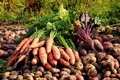 蔬菜收获 免版税库存照片