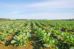 蔬菜栽培在一个领域在阳光下 图库摄影