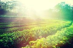 蔬菜栽培在菜园 库存图片