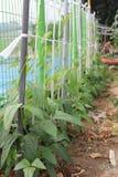 蔬菜栽培 图库摄影