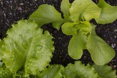 蔬菜沙拉新鲜的年轻叶子和新芽  生长在庭院里的莴苣 免版税库存图片