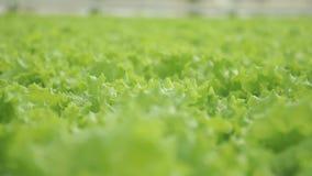 蔬菜沙拉自水栽法的温室增长户内 股票视频