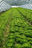 蔬菜的耕种的苗圃 免版税库存图片