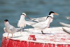 蔷薇色燕鸥和黑的naped燕鸥` s成人和少年栖息在浮体 免版税库存照片