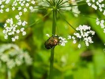 绿蔷薇金龟子, Cetonia Aurata,哺养在主教` s杂草白花,宏指令,选择聚焦,浅DOF 免版税库存照片