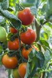蕃茄分行 库存照片