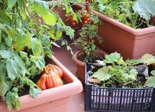 蕃茄和夏南瓜植物在都市庭院的罐我 库存照片