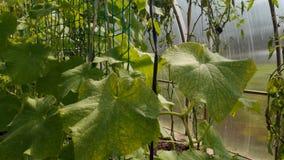 蕃茄和黄瓜自温室增长 影视素材
