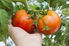 蕃茄在手上 库存图片