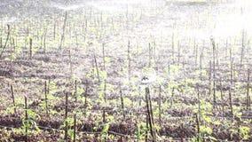 蕃茄在托儿所庭院,大叻市市,林同省,越南里 图库摄影
