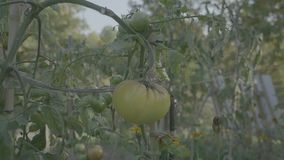 蕃茄在日落的花床 与支持标尺的黄色蕃茄 股票录像