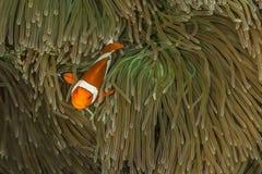 蕃茄在anenome的小丑鱼 免版税库存图片