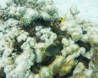 蕃茄小丑鱼在自然生态环境 库存照片