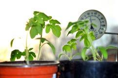 蕃茄幼木和窗口温度计剪影在背景与落日 免版税库存照片