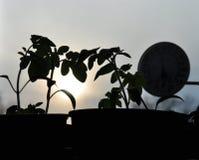 蕃茄幼木和窗口温度计剪影在背景与落日 免版税图库摄影