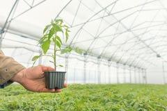 蕃茄幼木在农业的手上,盆的幼木 库存图片