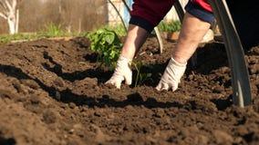 蕃茄幼木在种植园在春天被种植 在地面种植的绿色新芽用在手套的手 股票录像