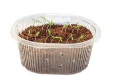 蕃茄幼木在箱子的 免版税库存照片