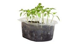 蕃茄幼木在箱子的 免版税图库摄影