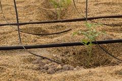 蕃茄幼木的水滴灌溉 库存照片