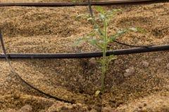 蕃茄幼木的水滴灌溉 库存图片