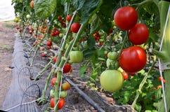 蕃茄托儿所 免版税库存照片