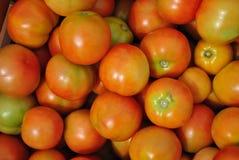 蕃茄收获 库存图片