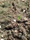蕃茄新芽,绿色有希望 免版税库存图片