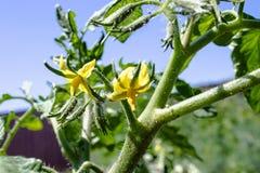 蕃茄明亮的黄色花  在词根的蕃茄花 库存照片