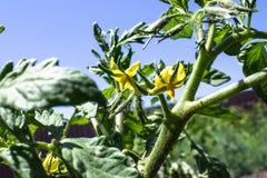 蕃茄明亮的黄色花  在词根的蕃茄花 免版税库存图片