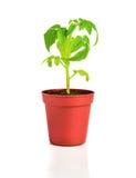 年轻蕃茄植物幼木在花盆的被隔绝 免版税库存照片