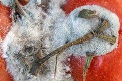 蕃茄模子 免版税库存照片
