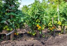蕃茄灌木行加强与木利益 免版税库存照片
