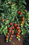 蕃茄生长 库存照片