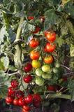 蕃茄生长 图库摄影