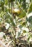蕃茄疾病 库存图片