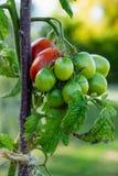 蕃茄病由晚疫病特写镜头照片 在成长不同颜色和阶段的蕃茄  免版税库存照片
