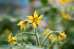 蕃茄的黄色花 库存图片