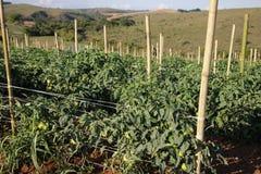 蕃茄种植园在巴西 免版税图库摄影