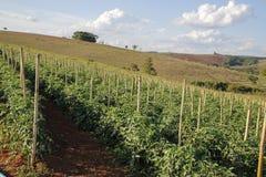 蕃茄种植园在巴西 库存图片