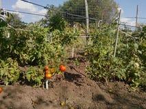 蕃茄种植园 免版税库存照片