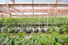 蕃茄耕种 免版税库存照片