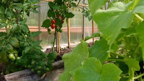 蕃茄自温室增长 影视素材