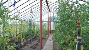 蕃茄自温室增长 股票视频