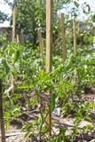蕃茄茎栓了到支持的木棍子在庭院里 免版税库存照片